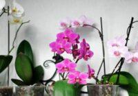 Orhideja tavās mājās ziedēs visu gadu, ja ievērosi šos vienkāršos padomus!