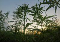 Policija, aizturot personas par laupīšanu, atklāj marihuānas audzētavu