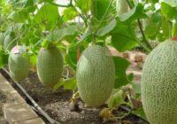 Izaudzēt meloni ir vieglāk nekā tomātus