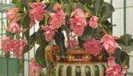 Nokarenie istabas augi, kas apbur ar savu skaistumu