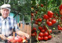 Sentēvu metodes bagātīgai tomātu ražai: 5 pārbaudīti triki